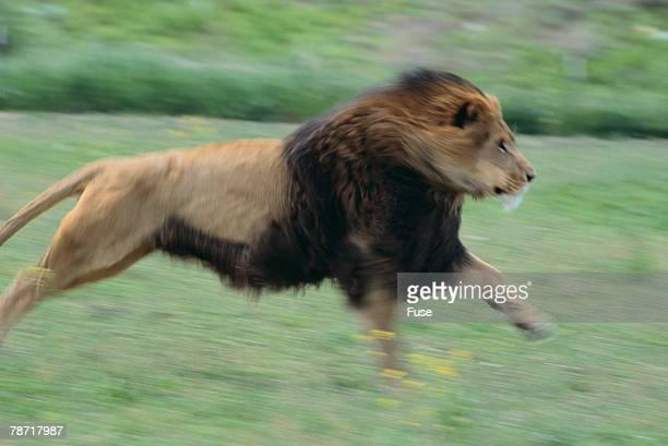 Lion Running in Grass