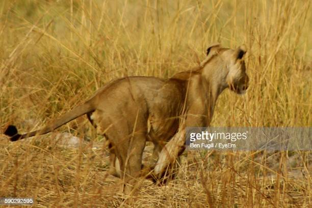 Lion Running On Field In Forest