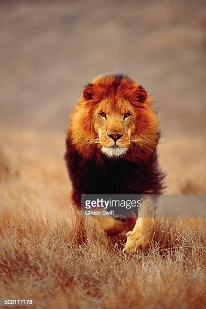 lion running on savanna - leones cazando fotografías e imágenes de stock