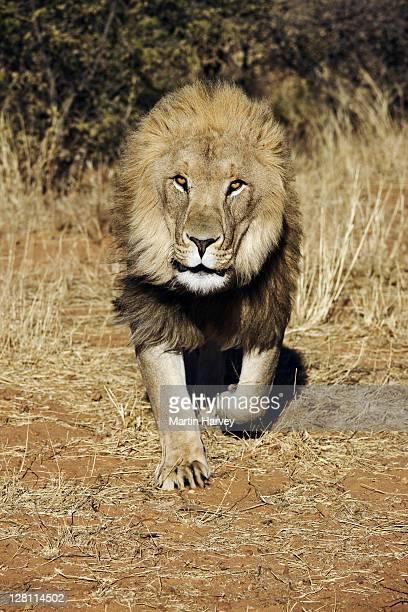 Lion (Panthera leo) Running towards camera. Namibia. Dist. Sub-saharan Africa