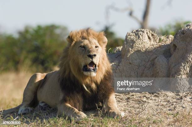 lion, savuti, chobe national park, botswana - franz aberham stock photos and pictures