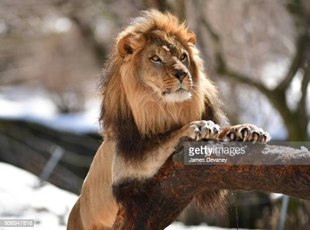A lion seen at the Bronx Zoo on March 22 2018 in New York City