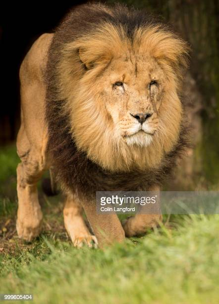 lion series - safari animals stock pictures, royalty-free photos & images
