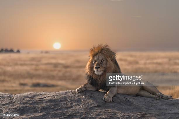 lion sitting against sky during sunset - animals in the wild stock pictures, royalty-free photos & images