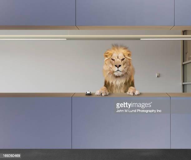 Lion sitting behind front desk