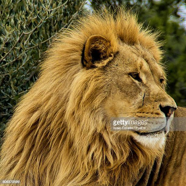 lion sitting by plant - animal whisker stock pictures, royalty-free photos & images