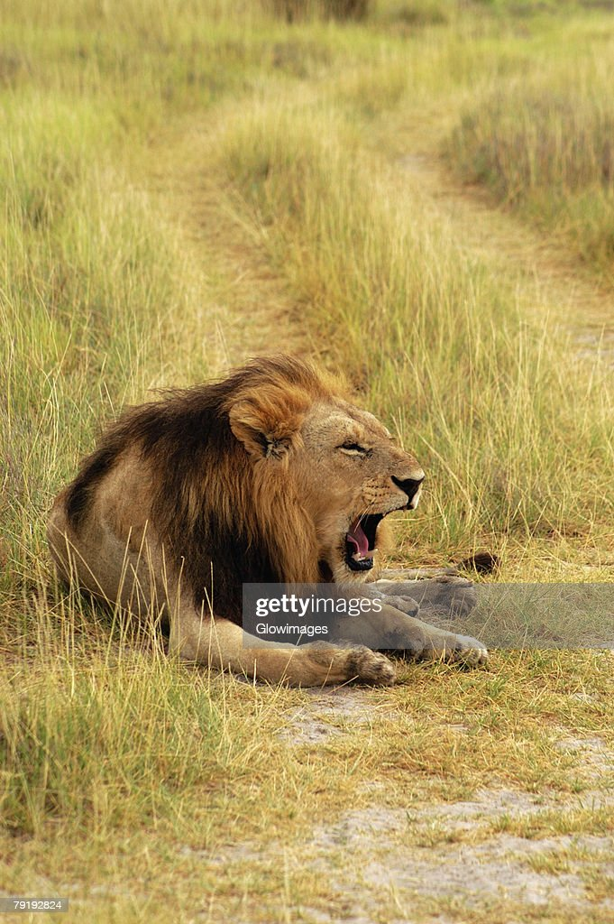 Lion (Panthera leo) sitting in a path and yawning, Okavango Delta, Botswana : Stock Photo
