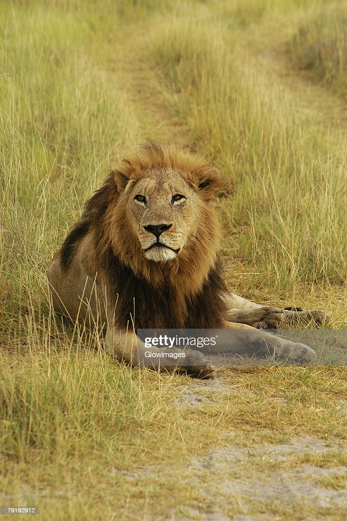 Lion (Panthera leo) sitting in a path, Okavango Delta, Botswana : Foto de stock