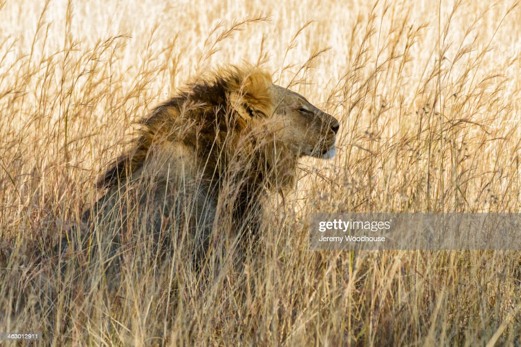 Lion sitting in tall grass : Stock Photo