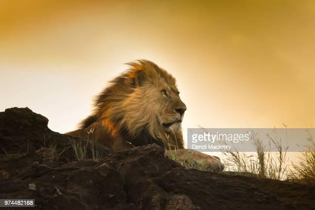 lion (panthera leo) sitting, maasai mara, narok county, kenya - leones cazando fotografías e imágenes de stock