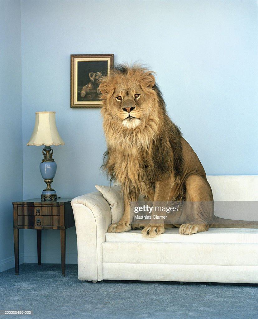 Lion sitting on couch : Bildbanksbilder