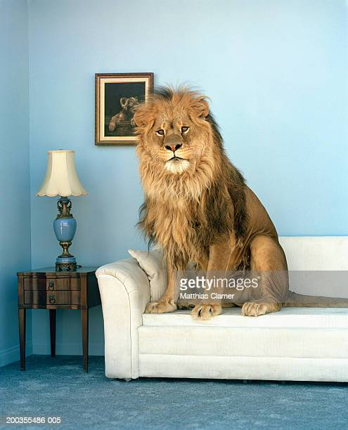 lion sitting on couch - tame stock photos and pictures