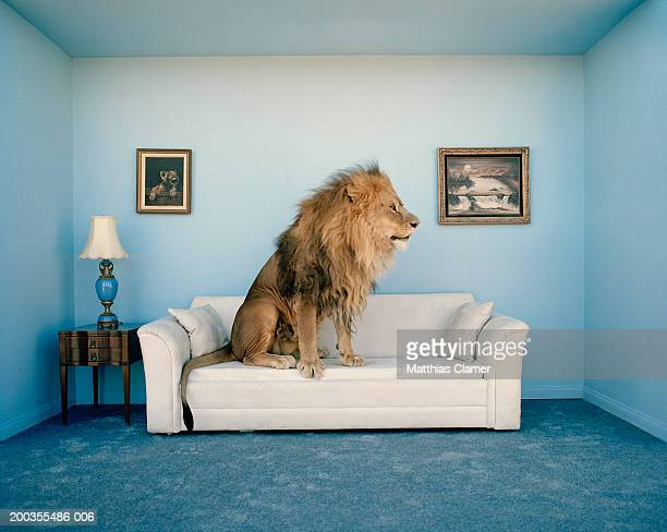 lion sitting on couch, side view - domestic animals stock pictures, royalty-free photos & images
