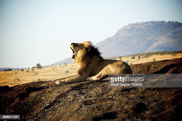 Lion Sitting On Field Against Sky
