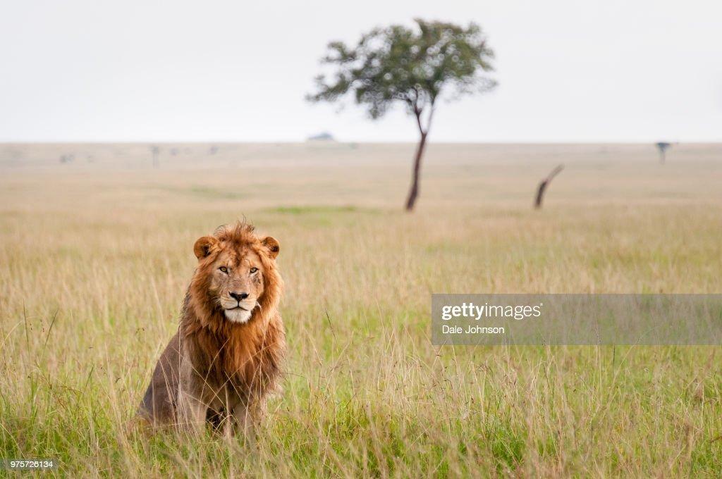 Lion sitting on grass, Masai Mara, Kenya : Stock Photo