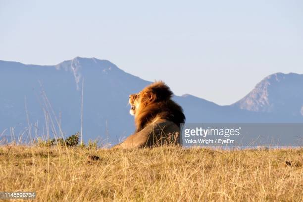 lion sitting on land against mountains - mossel bay stock pictures, royalty-free photos & images