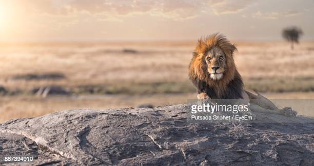 lion sitting on rock during sunset - lion stockfoto's en -beelden