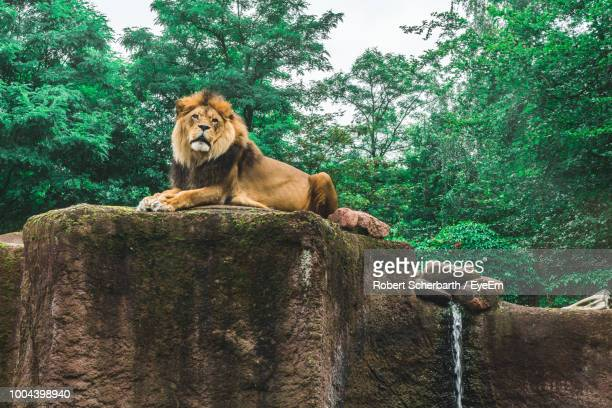 lion sitting on rock in forest - zoo stock pictures, royalty-free photos & images