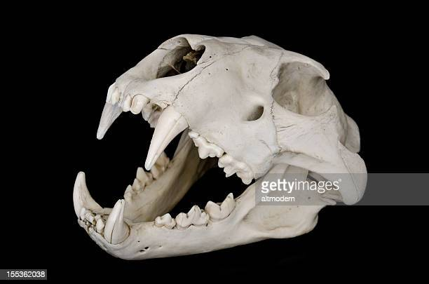 lion skull - lion feline stock pictures, royalty-free photos & images