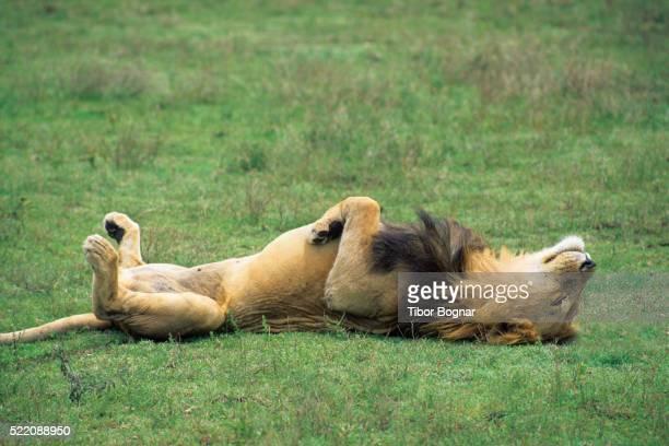 lion sleeping on back - un seul animal photos et images de collection