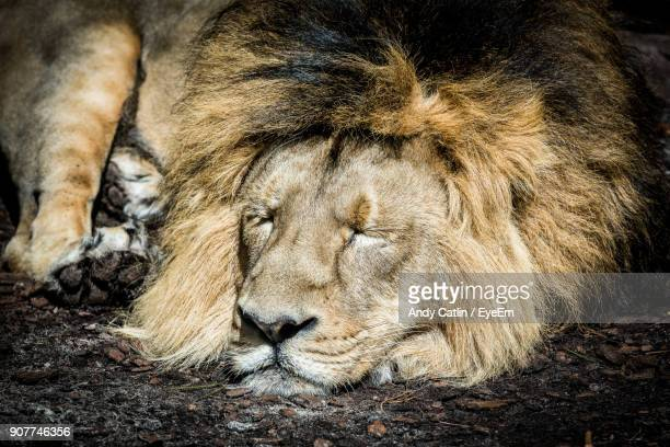 lion sleeping on field - lion feline stock photos and pictures