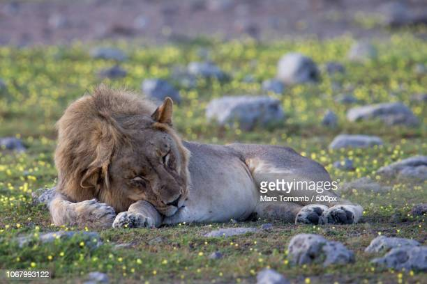 lion sleeping on grassy field - safari animals stock pictures, royalty-free photos & images