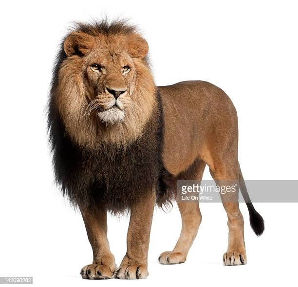 lion standing and looking away - lion feline stock pictures, royalty-free photos & images