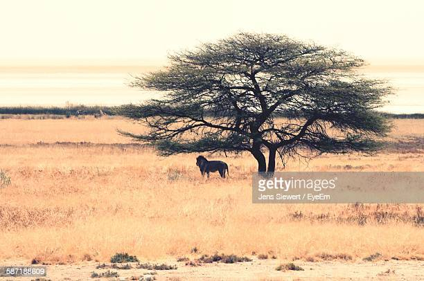 Lion Standing By Tree In Field Against Sky At Etosha National Park