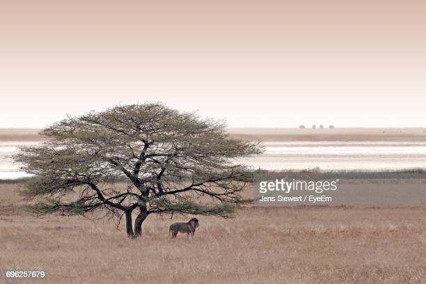 lion standing by tree on grassy field against lake - jens siewert stock-fotos und bilder
