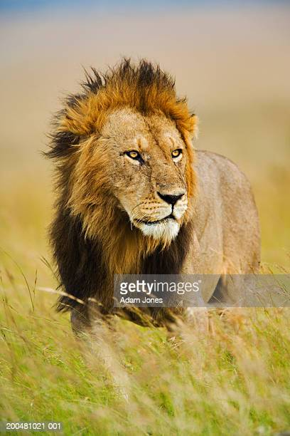 lion (panthera leo) standing in tall grass - male animal stock pictures, royalty-free photos & images