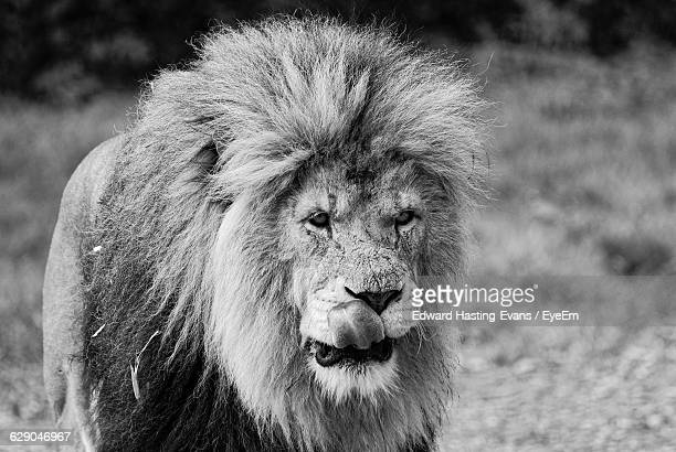 Lion Standing On Field At Forest