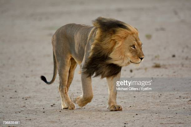 lion standing on field - male animal stock photos and pictures