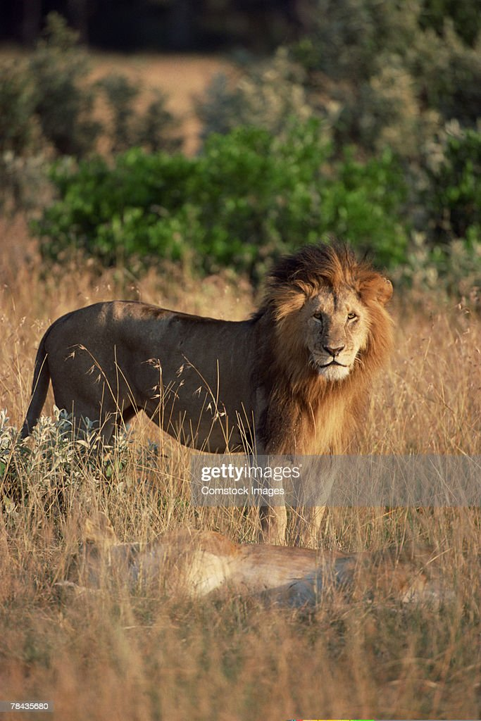 Lion standing over his kill , Kenya , Africa : Stockfoto