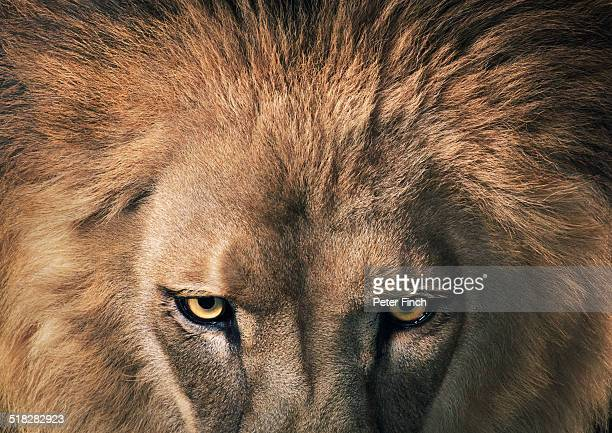 lion staring - male animal stock pictures, royalty-free photos & images
