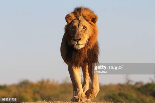 a lion starts his routine patrol - tiere bei der jagd stock-fotos und bilder