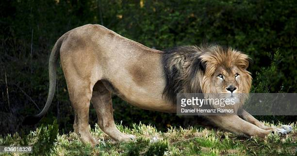 lion stretching looking at camera. - animal body stock pictures, royalty-free photos & images