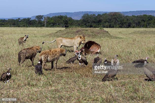 Lion sub-adult male feeding on a carcass watched by Spotted hyenas and Black-backed jackals