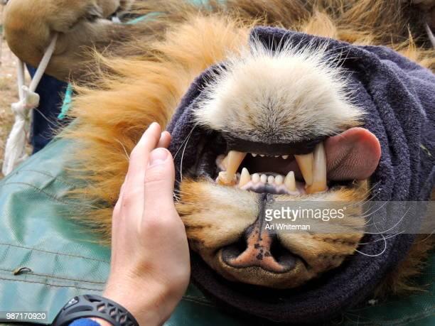 Lion Surgery