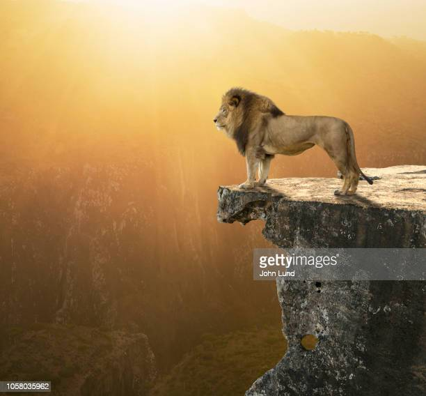 lion surveying kingdom - lion stock pictures, royalty-free photos & images