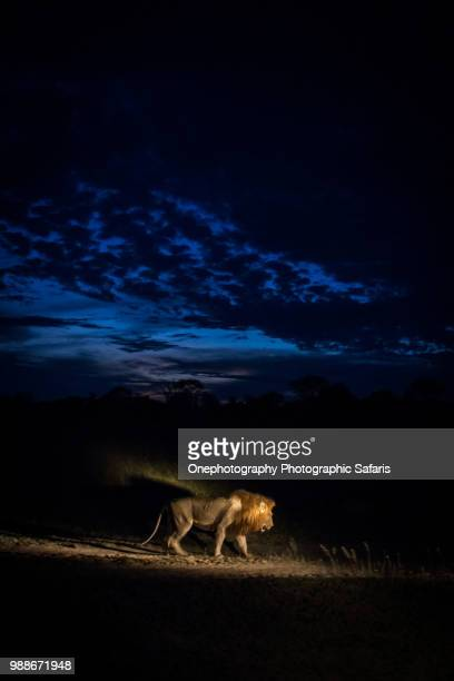 lion (panthera leo) walking at night, south africa - dark panthera stock pictures, royalty-free photos & images