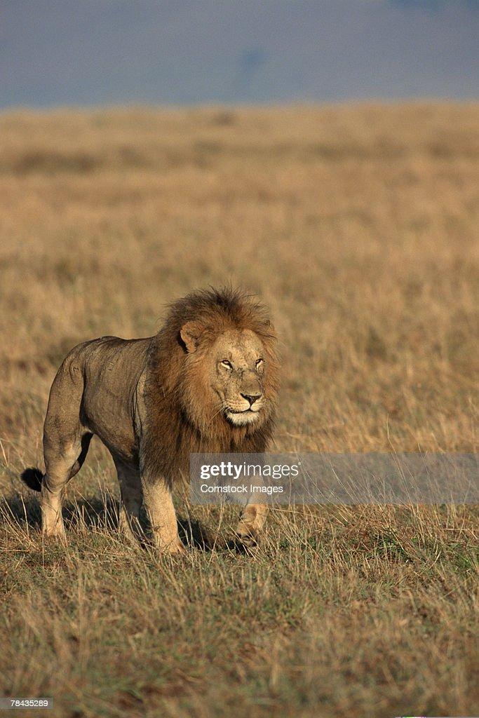 Lion walking in grasslands , Kenya , Africa : Stockfoto