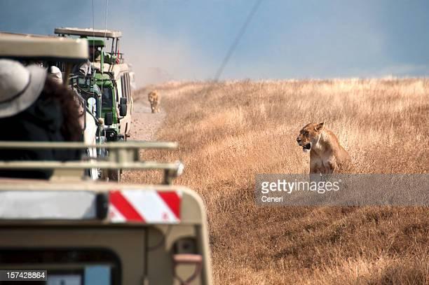 lion watching at ngorongoro, tanzania, africa - ngorongoro conservation area stock pictures, royalty-free photos & images