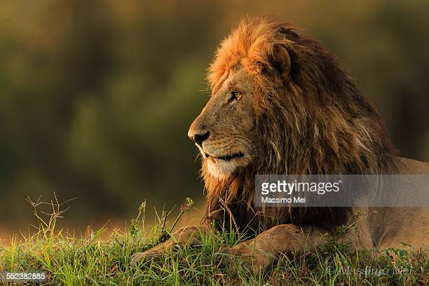 Lion watching sunrise