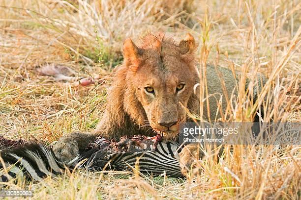 Lion (Panthera leo) with a killed zebra (Equus quagga burchelli) Moremi Nationalpark, Moremi Wildlife Reserve, Okavango Delta, Botswana, Africa