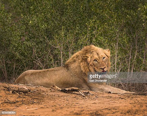 Lion with Bloody Face