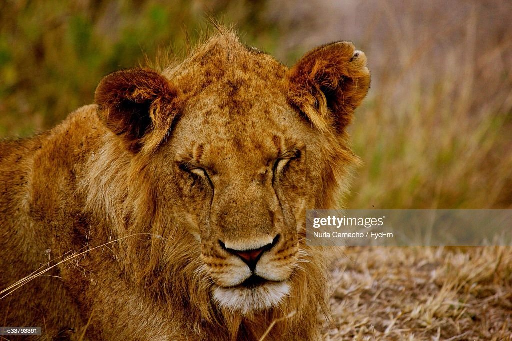 Lion With Close Eyes : Foto stock