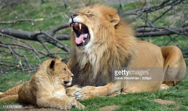 lion with cub in wild - áfrica del oeste fotografías e imágenes de stock