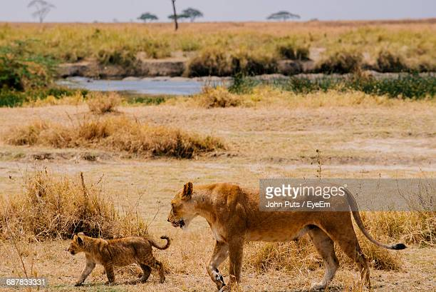 lion with cub - lion cub stock photos and pictures