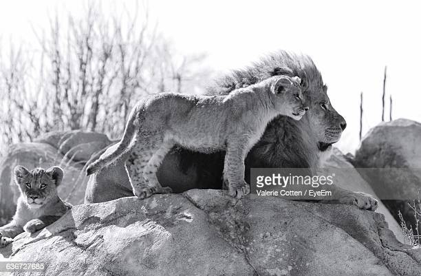 lion with cubs relaxing on rock against sky - lion cub stock photos and pictures
