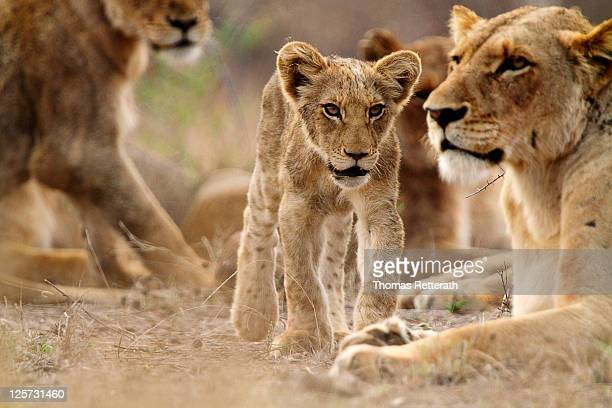 lion with lion cub - kruger national park stock pictures, royalty-free photos & images
